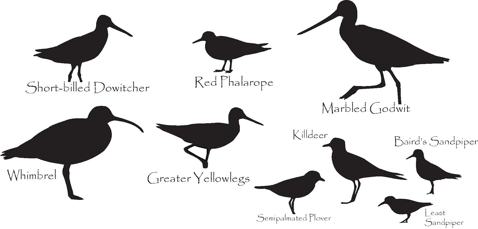 1600x769 Shorebird Identification Silhouette Answers Nutty Birder