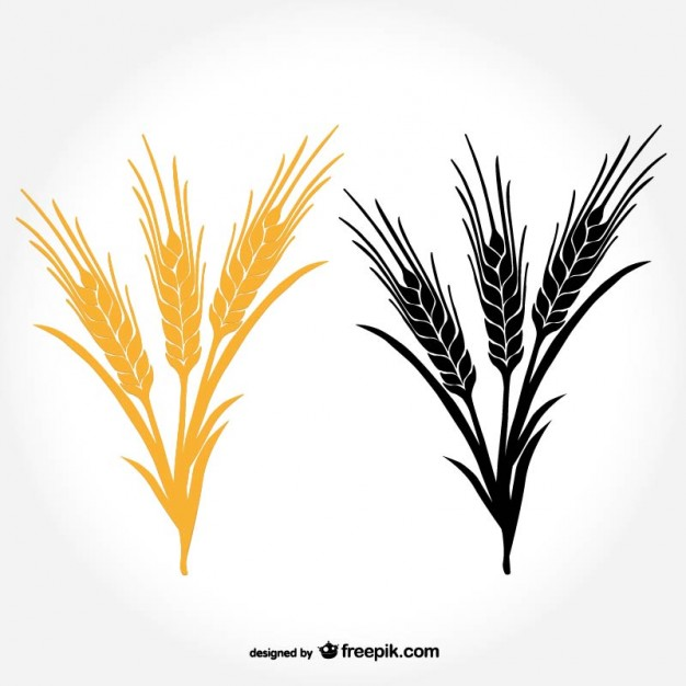 626x626 Ears Of Wheat Vector Free Download