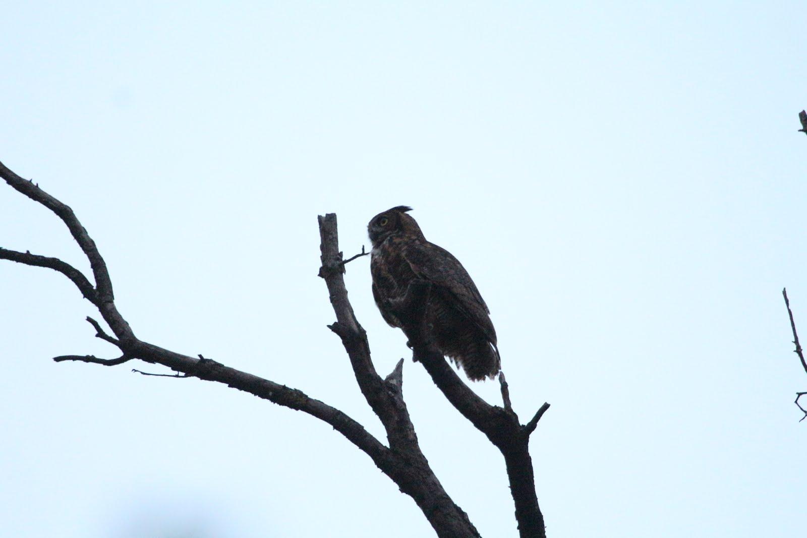 1600x1067 Forest Park Owls December 2015