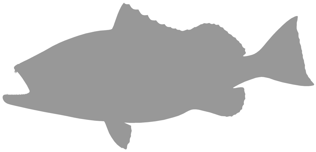 1024x492 Red Grouper Blank, 29 Inches