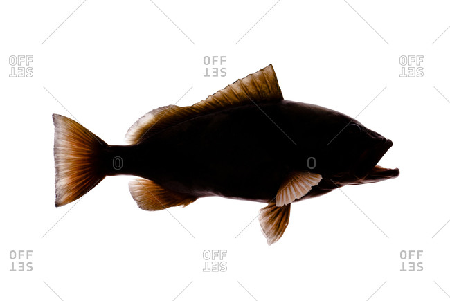 650x435 Black Grouper Stock Photos