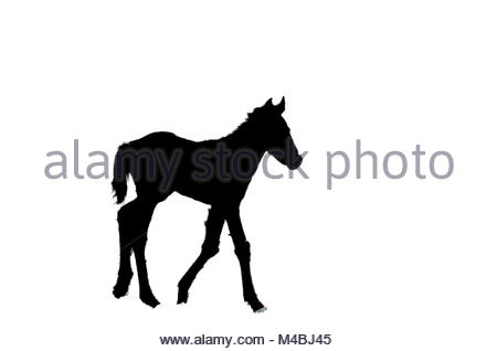 450x318 Silhouette Of A Little Foal On White Isolated Background Stock