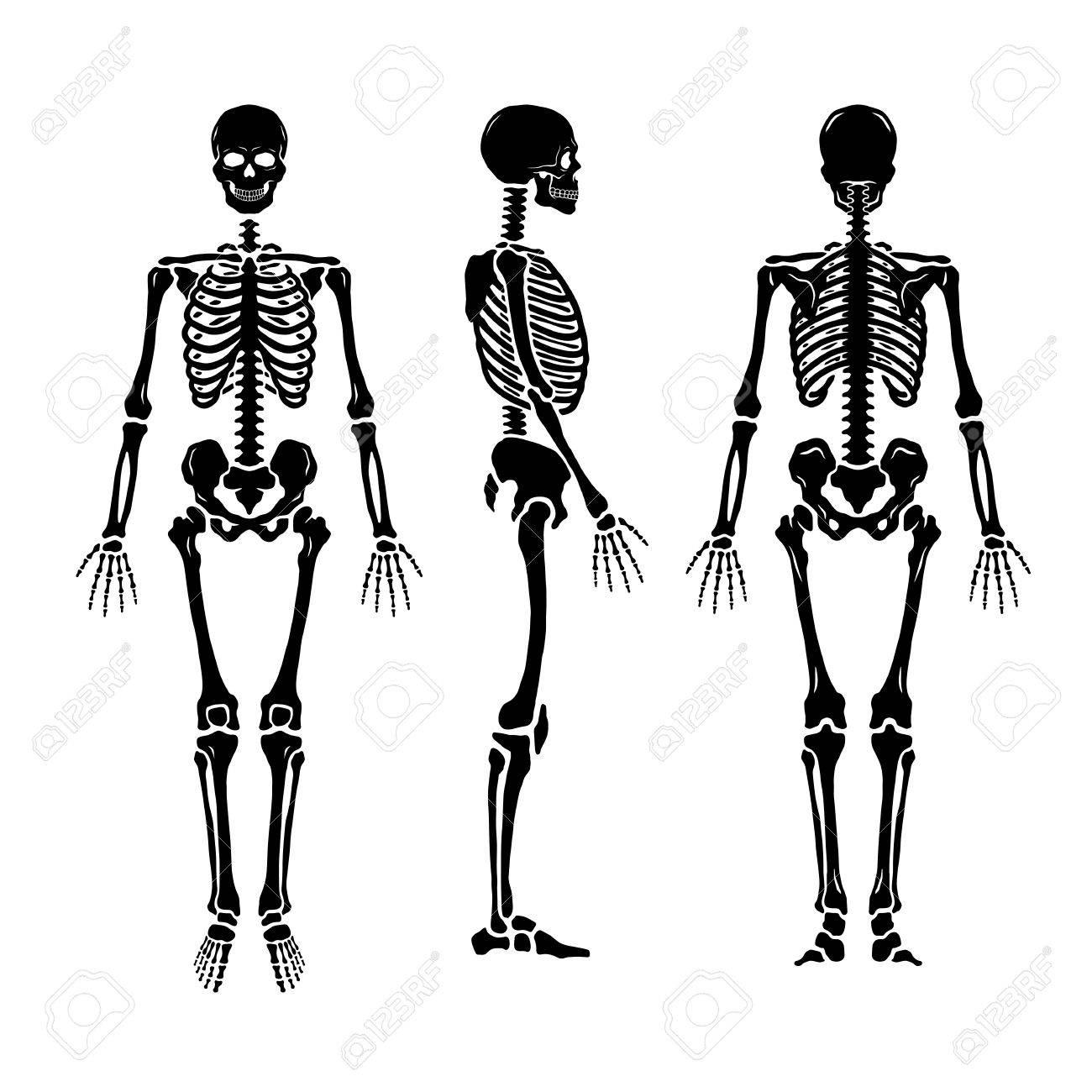 1300x1300 Human Skeleton Stock Illustration. Illustration Of Position