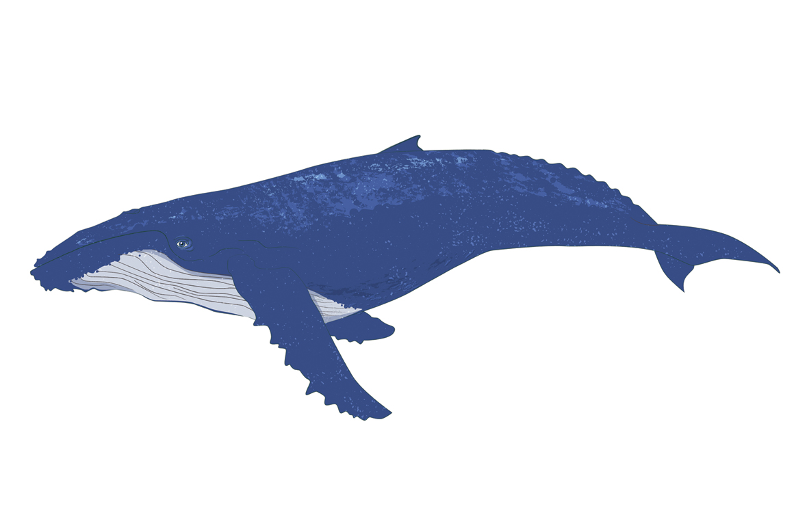 1160x772 Humpback Whale Clipart
