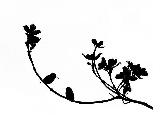 600x450 Birds In Silhouette Hummingbird Black White Bird Art Print