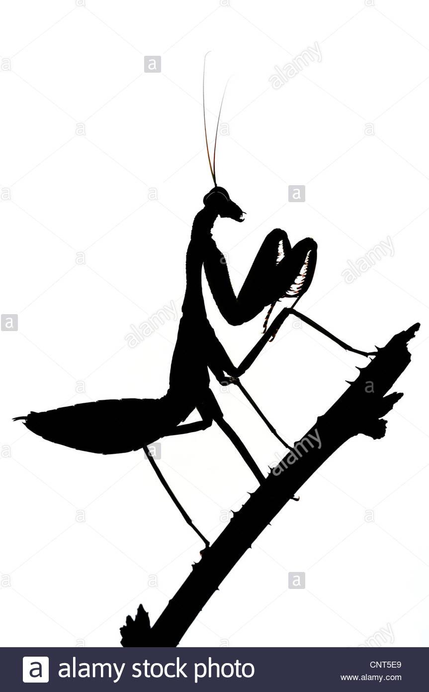 863x1390 Praying Mantis Silhouette Stock Photos Amp Praying Mantis Silhouette