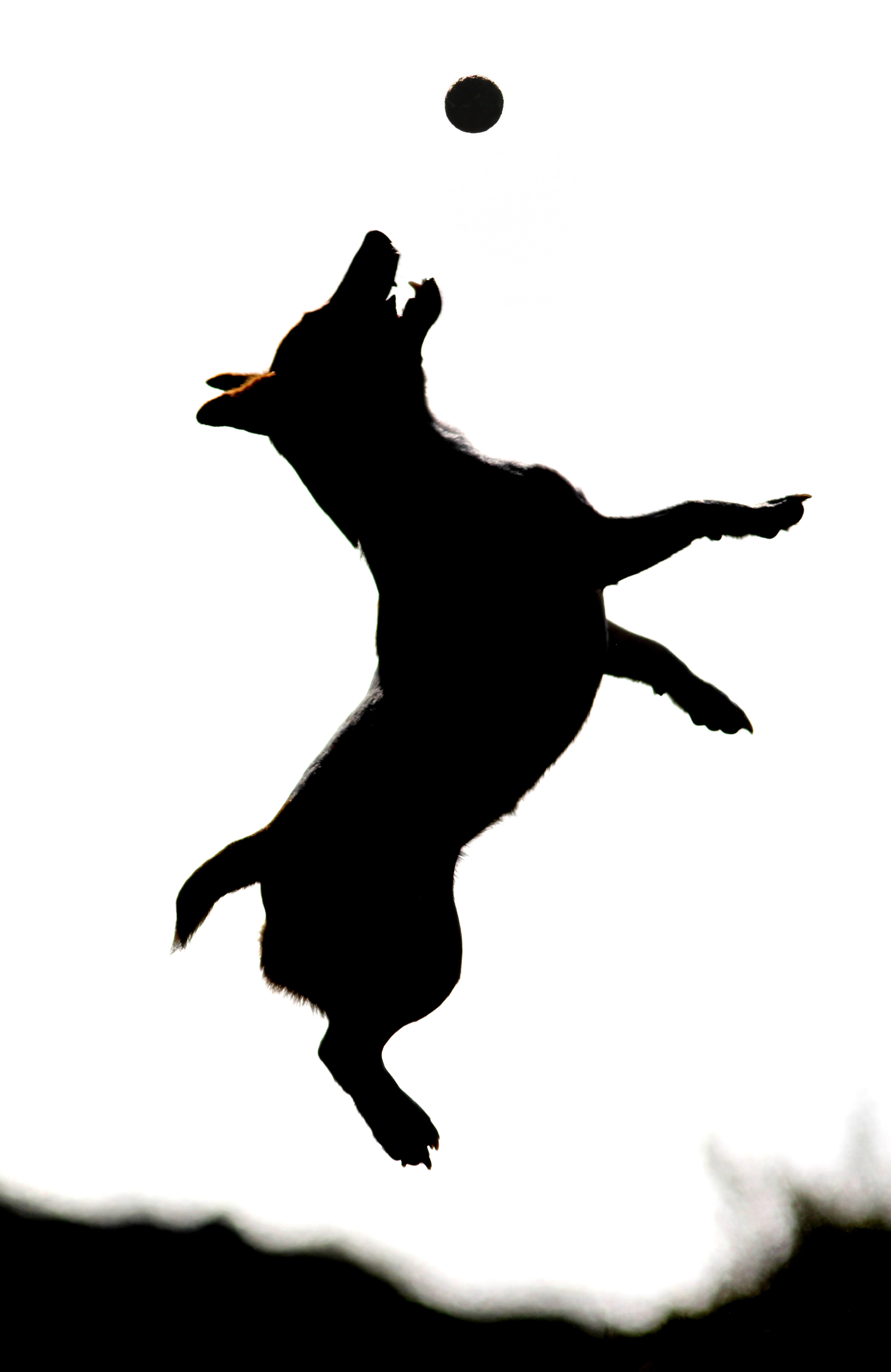 Jack Russell Terrier Silhouette