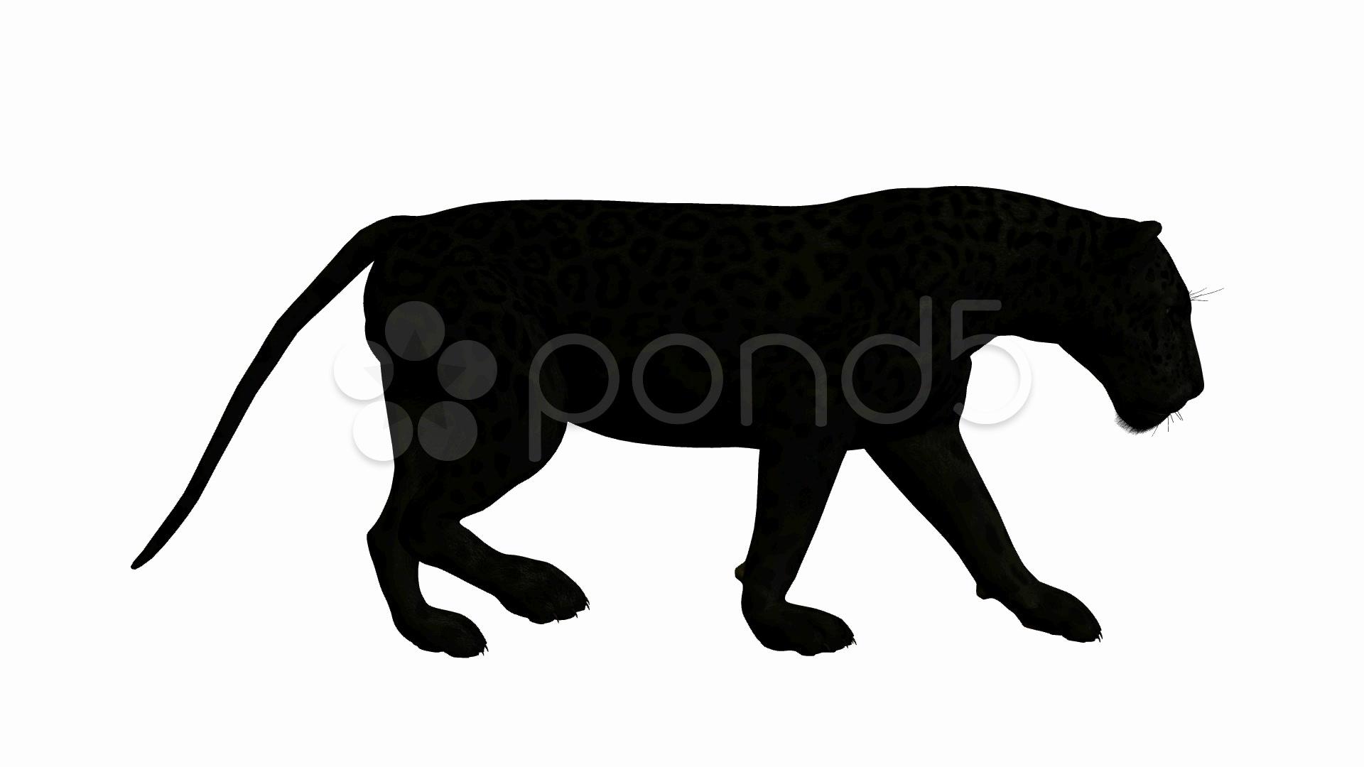 1920x1080 Stock Video Black Jaguar Walking ~ Buy Now