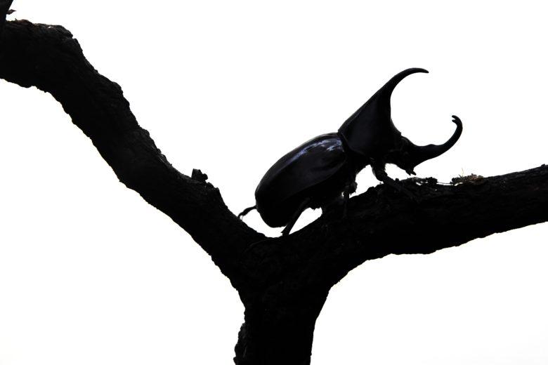 780x520 Armor Plated Rhino Beetle