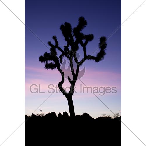 500x500 Joshua Tree Silhouette Gl Stock Images