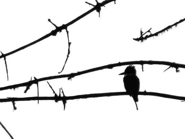 640x480 Kingfisher Silhouette Kingfisher