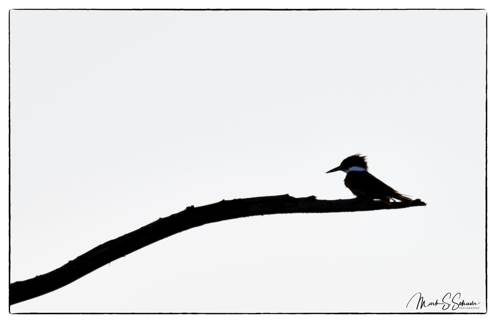 1024x668 Kingfisher Silhouette