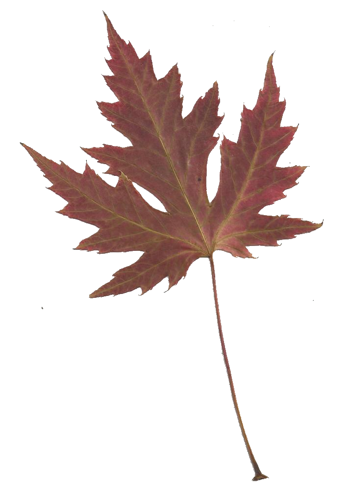 716x1000 Maple Leaf Silhouette Clipart Silhouette Clipart Library