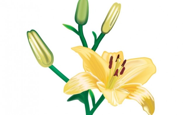 626x396 Lili Flower Vector 1 Vector Free Download