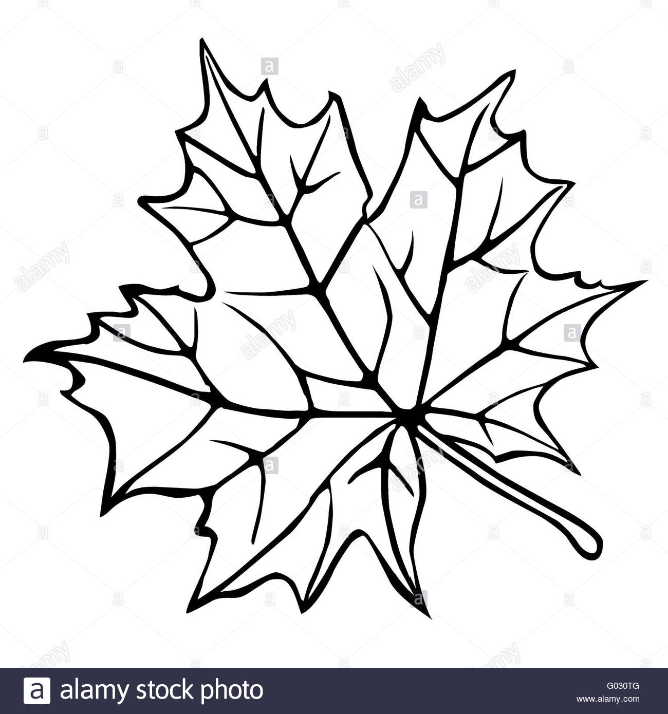 1300x1390 Silhouette Of The Maple Leaf On White Background Stock Photo