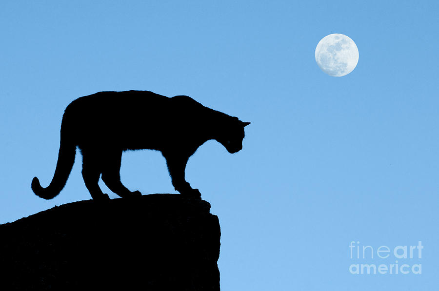 900x597 Moonrise And Cougar Photograph By Sandra Bronstein