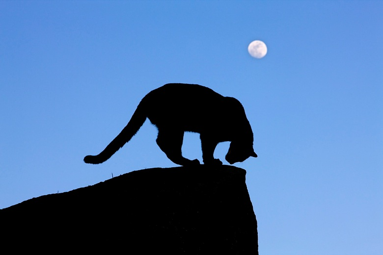 780x520 Mountain Lion By Moonlight