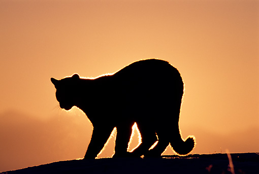 510x343 Silhouette Shot Of Mountain Lion At Sunrise Kimballstock