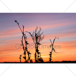 325x325 Thistle, Dry Grass Silhouette Gl Stock Images