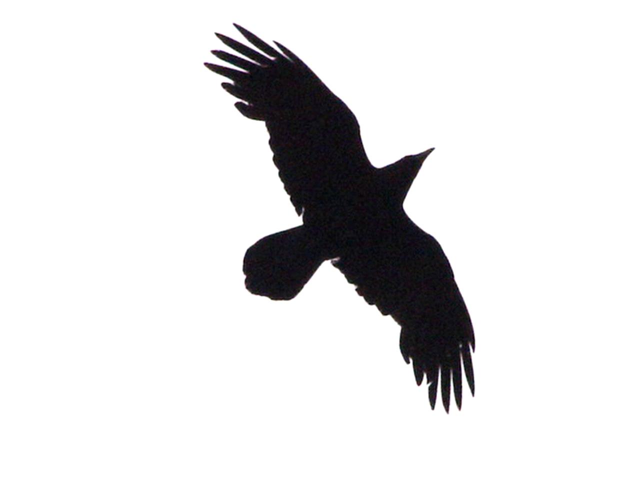 1280x960 Dark Bird Tattoo