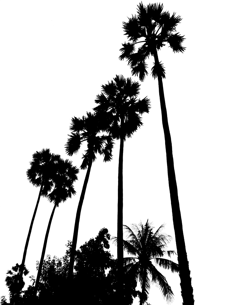 750x1000 Stock Pictures Tall Palm Trees Silhouettes
