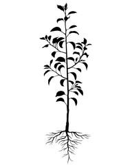 192x240 Silhouette Annual Pear Tree Seedling