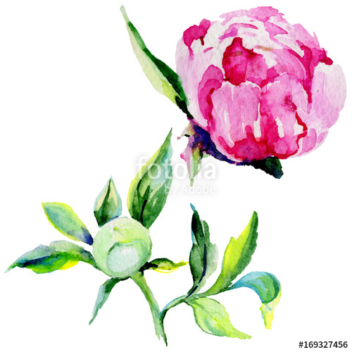 500x500 Wildflower Peony Flower In A Watercolor Style Isolated. Full Name