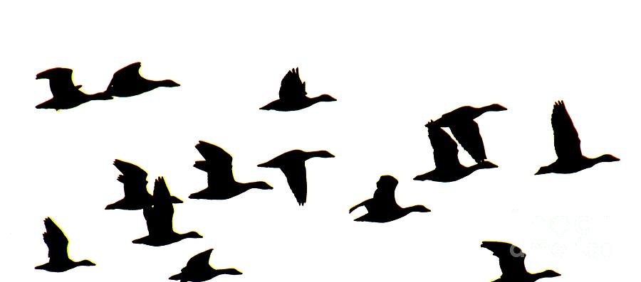 900x397 Geese In Flight Silhouette Photograph By Rrrose Pix