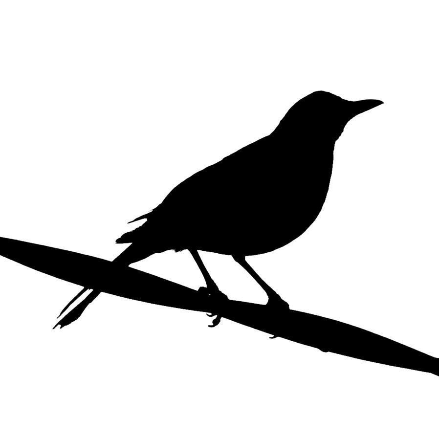 898x900 Blackbird Silhouette Photograph By Bishopston Fine Art