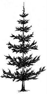 159x320 Pine Trees