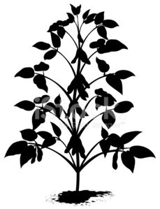 229x299 Sprouted Soybean Plant Silhouette With Leaves, And Bean Pods Stock