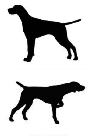 305x448 Pointer English Or German Shorthair Dog Canine Profile