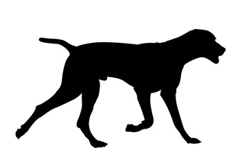 363x240 Weimar Pointer Photos, Royalty Free Images, Graphics, Vectors