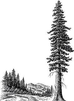 236x324 Pine Trees