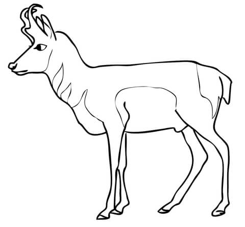 480x443 Pronghorn Antelope Coloring Page Free Printable Coloring Pages