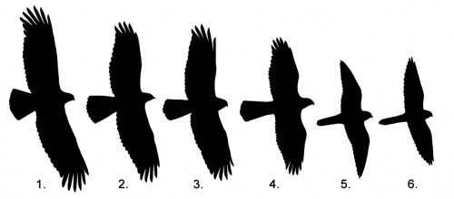 500x220 West County Hawkwatch Raptor Research Group Silhouette Drill