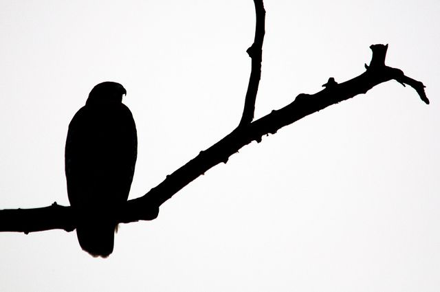 640x425 Red Shouldered Hawk Silhouette Hawk Silhouette, Silhouettes