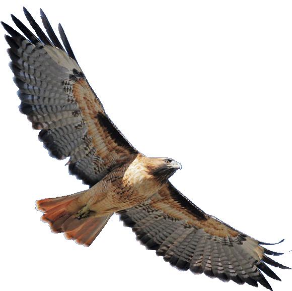 580x577 Cooper's Hawk Clipart Hawk Flying