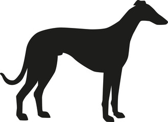 329x240 Greyhound Photos, Royalty Free Images, Graphics, Vectors Amp Videos