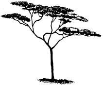 212x178 Drawing Of Acacia Tree