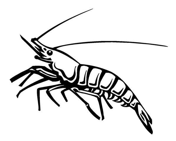 597x480 Shrimp Decal Sticker
