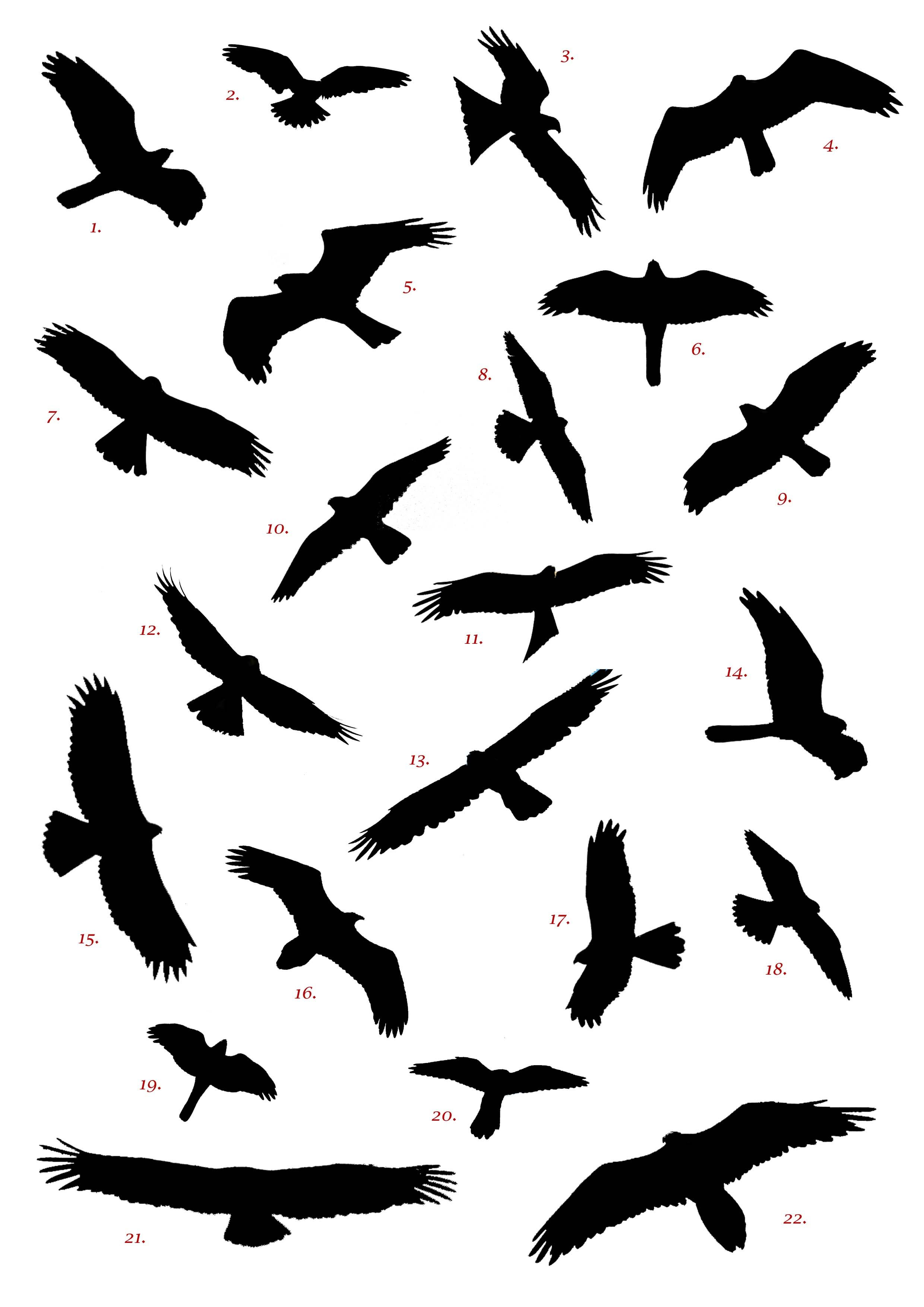 2480x3508 Spanish Raptor Silhouette Competition