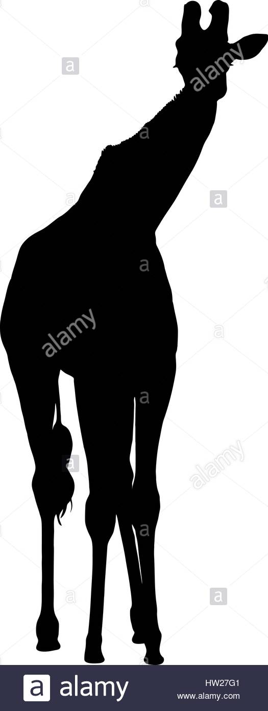 525x1390 Silhouette Of A Tall African Giraffe Front View Stock Vector Art