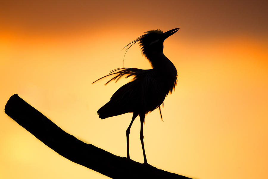 900x600 Night Heron Silhouette 2 Photograph By Andres Leon