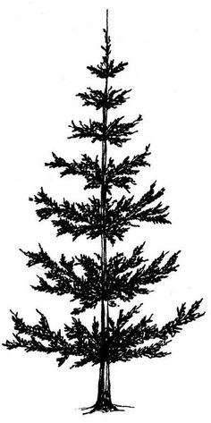 236x473 Black And White Pine Tree Drawing