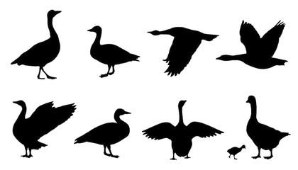 420x240 Search Photos Category Animals Gt Birds Gt Ducks