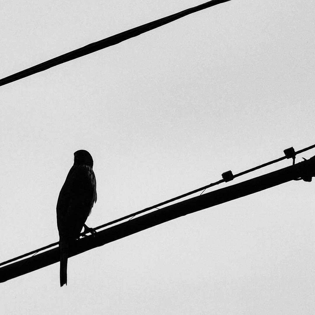 1080x1080 Cooper's Hawk Silhouette Along The Los Angeles River