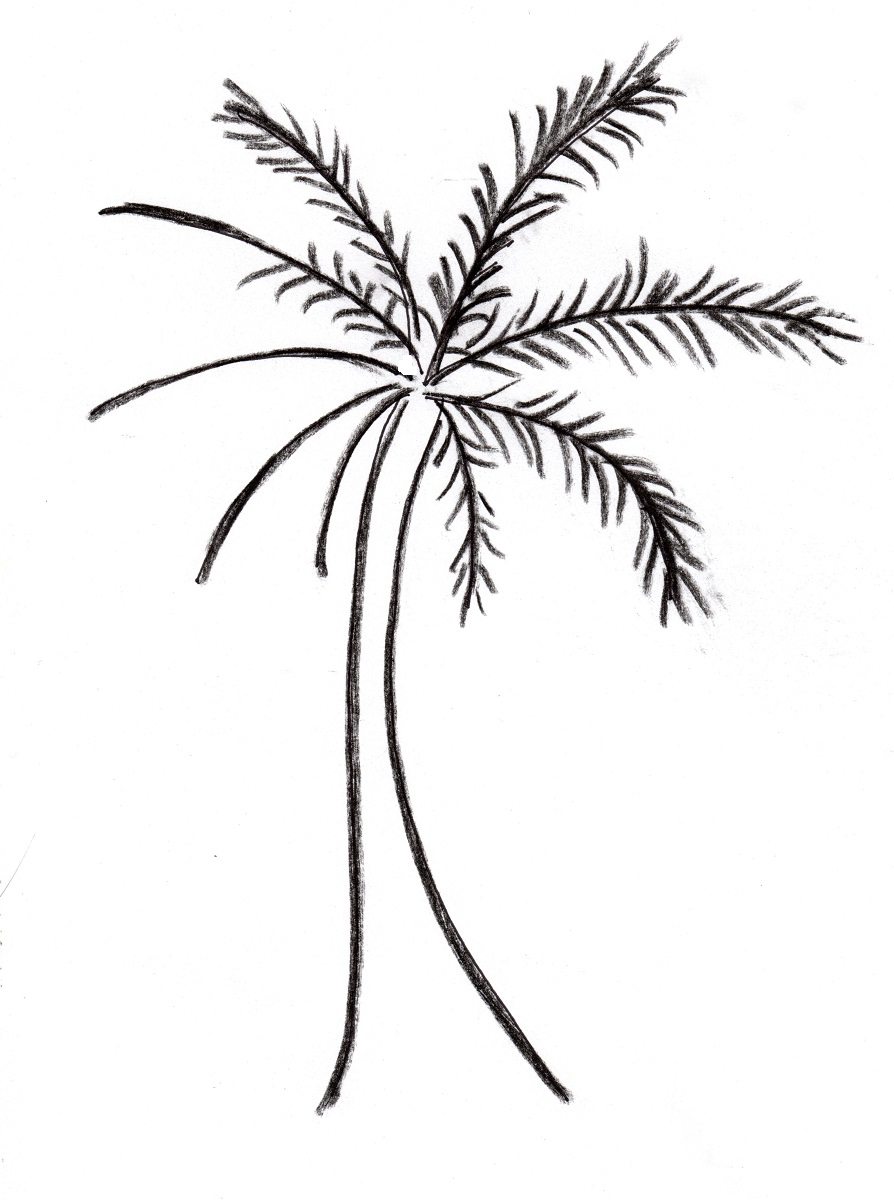 894x1200 Palm Tree Drawing Outline