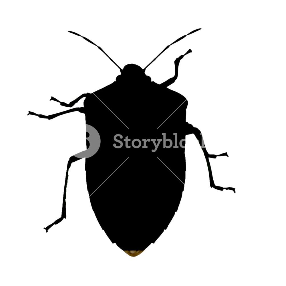 1000x1000 Green Shield Bug Aka Nezara Viridula Insect Animal
