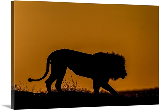 540x373 Silhouette Of A Lion, Panthera Leo, Walking